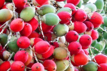 stockvault-palm-tree-fruits-dates160207